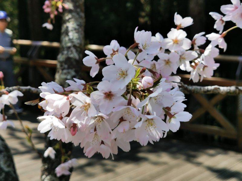 阿里山賓館前染井吉野櫻已盛開。 圖/卜敏正 攝影