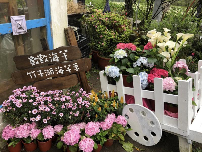 陽明山竹子湖海芋季27日月底登場,今年受到氣候影響,海芋花況相當不錯,目前正是盛...
