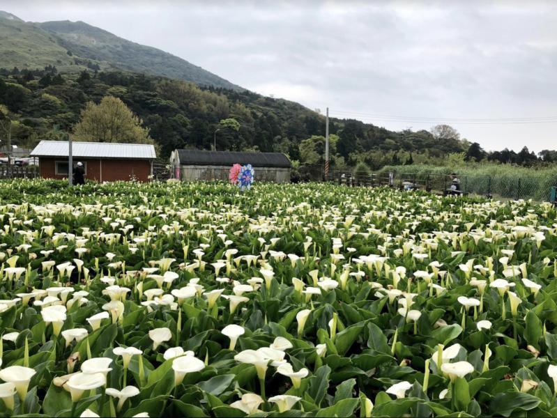 陽明山竹子湖海芋季27日登場,今年受到氣候影響,海芋花況相當不錯,目前正是盛花期...