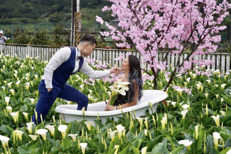 陽明山竹子湖海芋季即將在27日正式登場,受氣候影響,海芋花況相當不錯,目前正是盛...