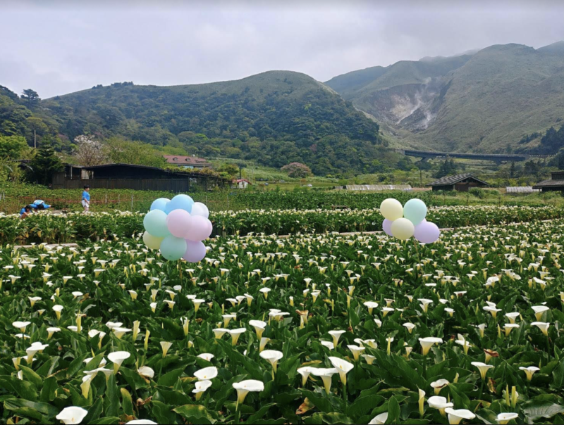 陽明山竹子湖海芋季27日登場,今年受氣候影響,海芋花況相當不錯,目前正是盛花期,...