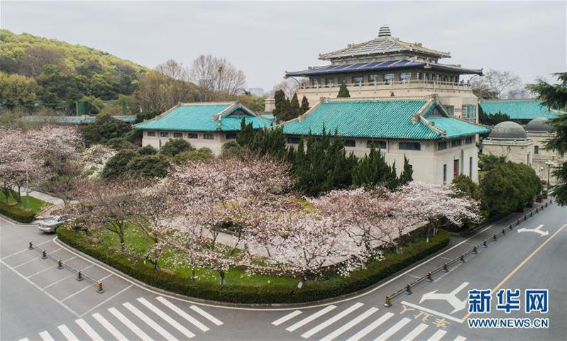 武漢終於走出新冠肺炎陰霾,圖為武漢大學校園內櫻花正盛開。(新華網)