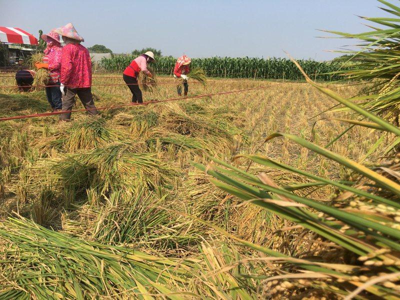 農委會資料顯示,若以三個月安全存糧30萬公噸計算,台灣庫存的稻米足夠全體國人吃上21個月,且持續生產中。本報資料照片