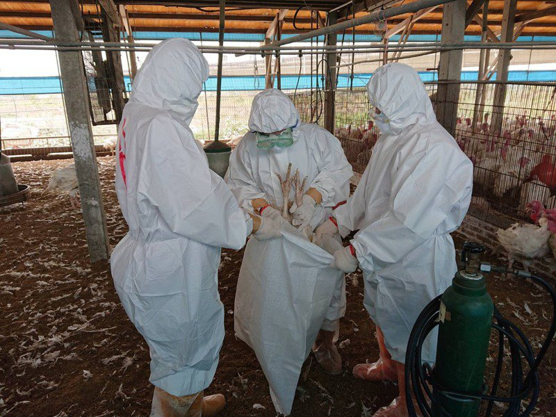 台南市學甲區一處火雞場爆發禽流感,今動保處人員共撲殺702隻。圖/台南市動保處提供