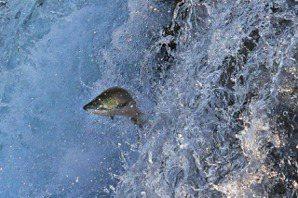 黃重豪/「助魚好孕」:建設魚道、人工護送,北歐鮭魚復育之路