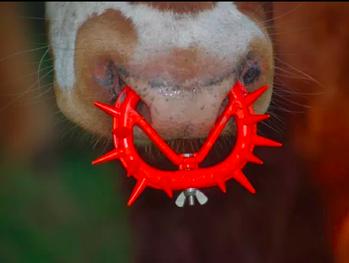 小牛被戴上荊棘狀的牛鼻環,避免牠們吸媽媽的奶,現代工業化畜牧業中, 動物連親情...