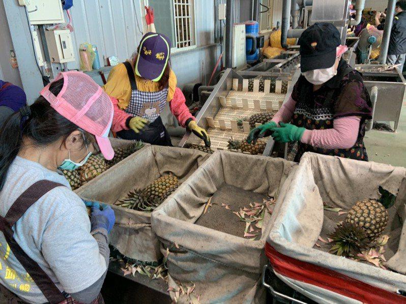 高雄的鳳梨開始進入產期,預估今年產量將達5.6萬公噸。圖/高雄市政府農業局提供