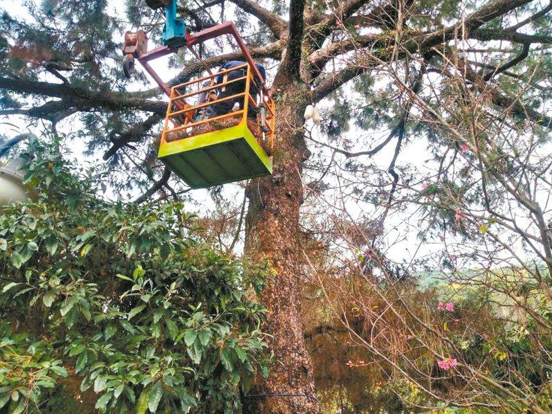 園藝業者昨天幫清水岩寺的二葉松掛點滴治療松材線蟲病。 記者林敬家/翻攝