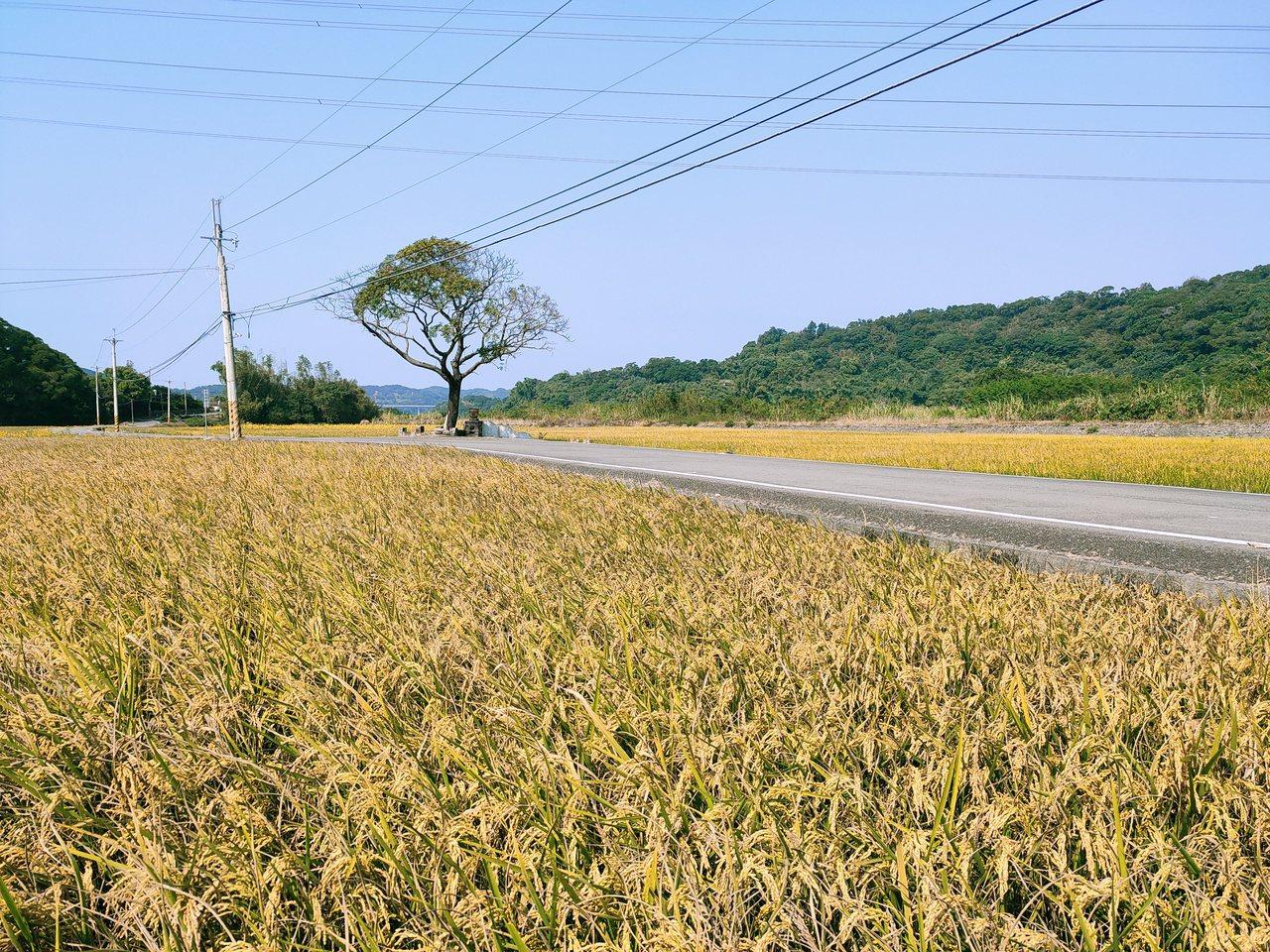 西湖鄉的黃金一路,場景酷似金城武樹。 圖/苗栗縣西湖鄉休閒產業發展協會 提供