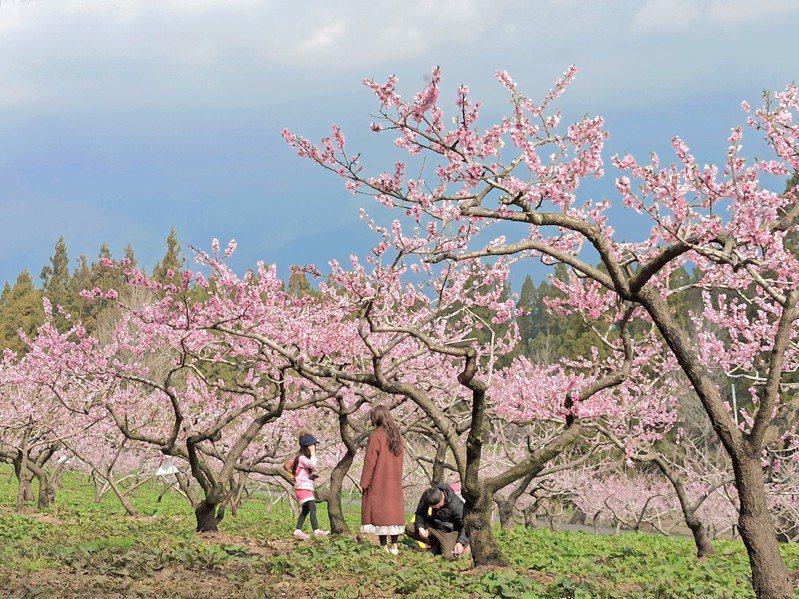 福壽山農場種植約2公頃水蜜桃果園,目前桃花開花已達3至4成,預計可開到4月初,滿園粉桃色的美景,讓人彷彿踏入三生三世十里桃花之中。圖/參山國家風景區管理處提供