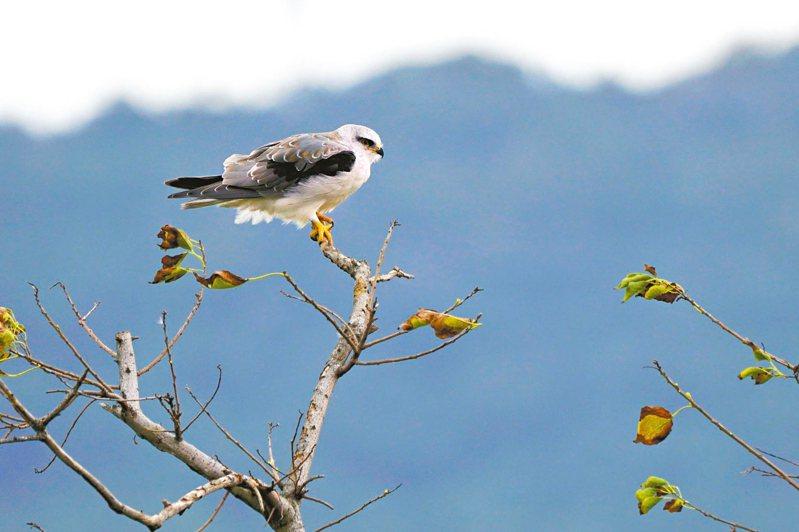 社子島濕地今年設置的棲架,已可見「台灣最美猛禽」黑翅鳶頻繁光顧。 圖/台北市水利處提供