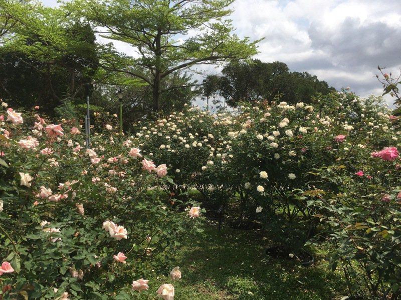 「2020年台北玫瑰展」展期至4月30日止,園內培育超過700品種、2800餘株玫瑰,現正全力綻放中。記者張世杰/攝影