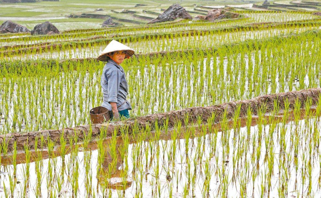 越南25日下令,至少本月28日前,一律暫停簽署新的稻米外銷合約。 路透