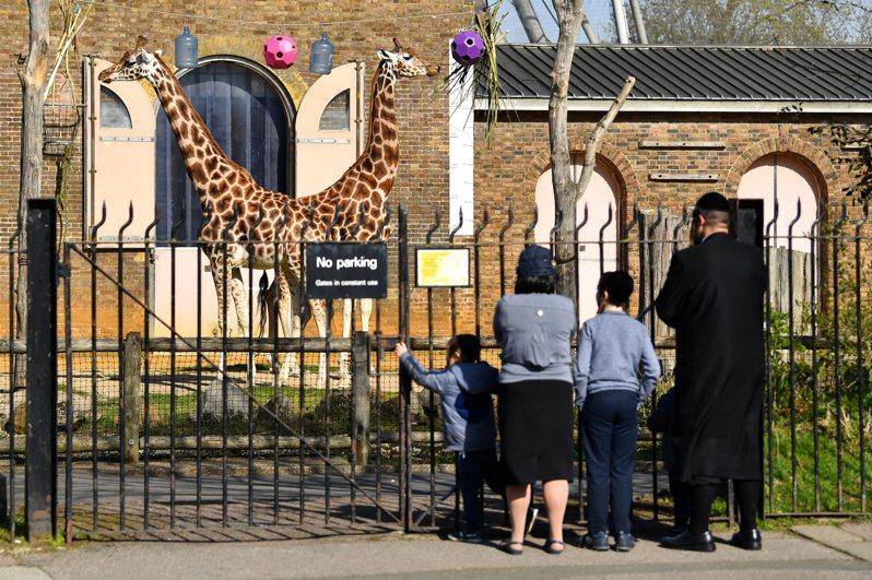 英國因為新冠肺炎疫情實施禁足令,世界最古老的倫敦動物園(London Zoo)也對公眾關閉,寫下二戰以來首例,園方正尋求各界捐贈,以保護園內大約1萬8000隻動物。 路透社