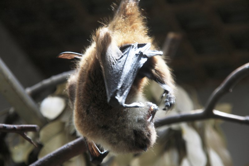 蝙蝠雖然身上攜帶許多致命病毒,但壽命卻也很長。圖片來源/ingimage