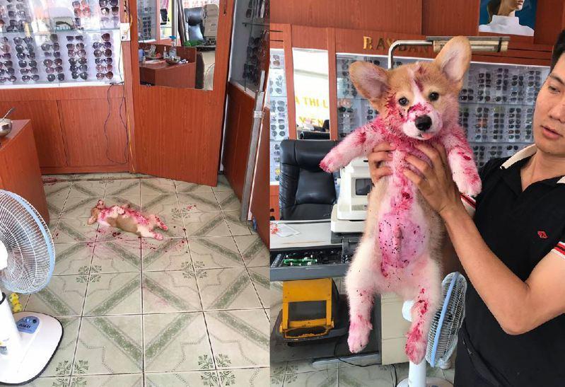 柯基偷吃紅肉火龍果,遠看像倒在血泊中。圖擷自facebook
