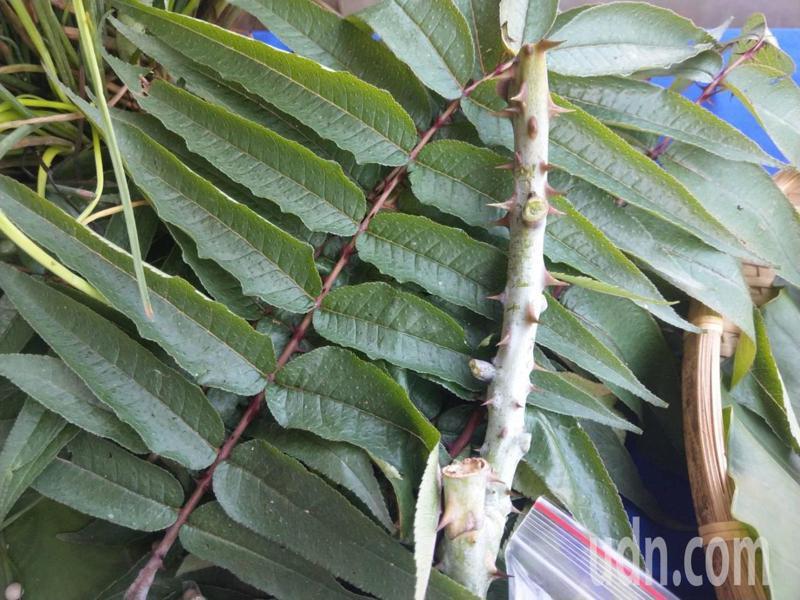 「刺蔥」在原住民佳餚中是天然香料,對鬱悶、筋骨很有幫助。記者尤聰光/攝影