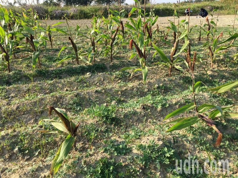 台南社大上月間追蹤後壁嘉田村11年前鉻汙染地,發現玉米田有部分枯死。圖/台南社大提供