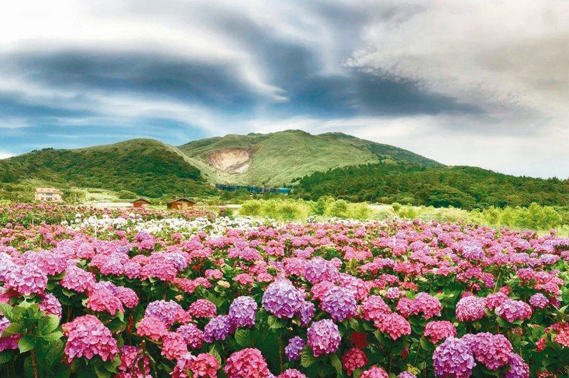 北市陽明山竹子湖海芋季及繡球花季今天起到6月21日登場。 圖/台北市農會提供
