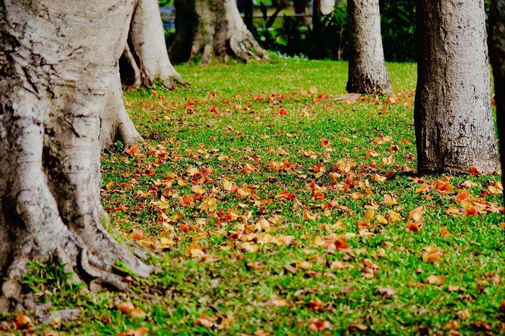 掉落一地的木棉花,草坪幾成橘紅地毯花海