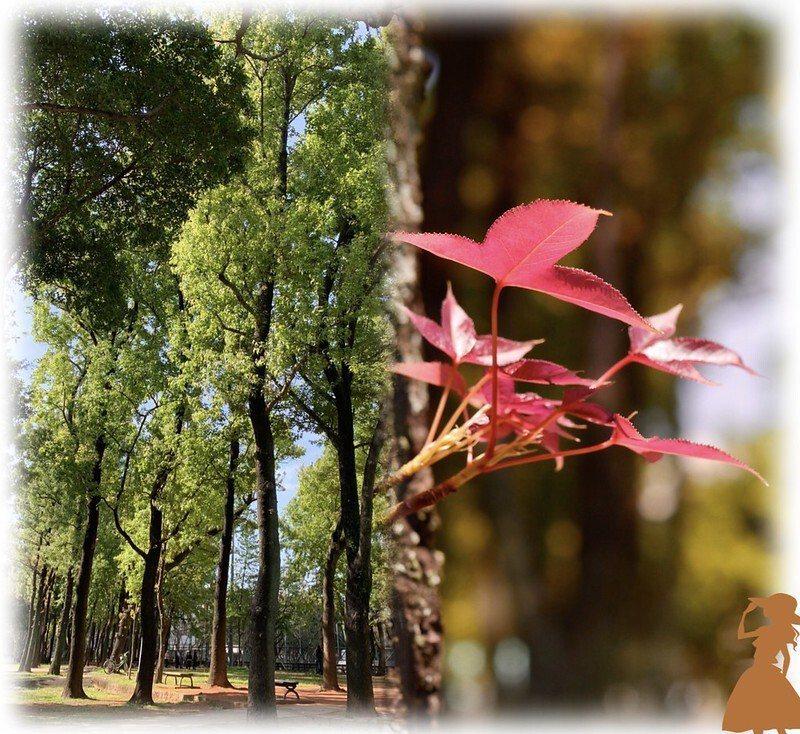 楓樹林,春天長出了嫩芽