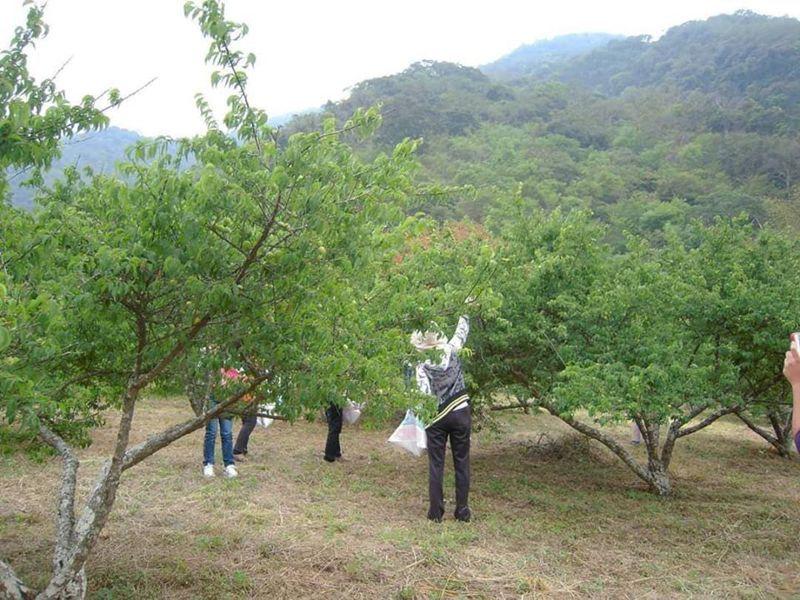 高雄桃源山區有農民開放遊客入園採果與脆梅DIY。記者徐白櫻/翻攝