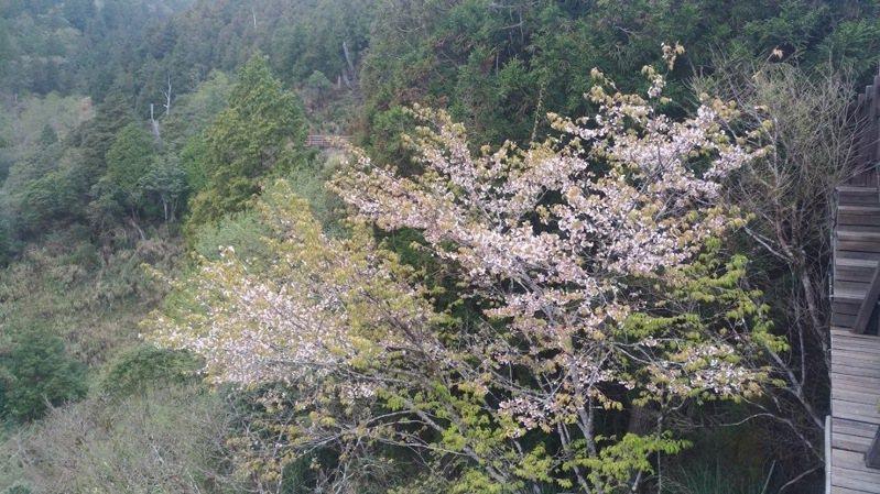 原生的太平山白櫻花株株盛開,讓春天的太平山又多了些不同的大自然點綴。圖/林務局羅東林區管理處提供