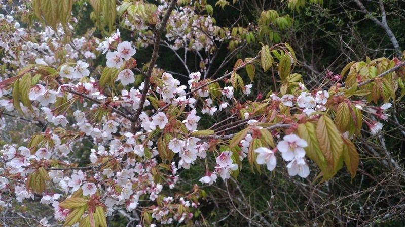 太平山白櫻花是台灣特有種,只生長在海拔1800至2000公尺、寒冷多雲霧的太平山區生長與綻放。圖/林務局羅東林區管理處提供