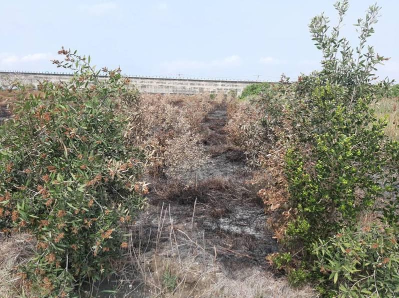雲林沿海農田最近接連起火,作物和林木被焚毀,農民懷疑有人隨機縱火,感到痛心。圖/陳姓農民提供