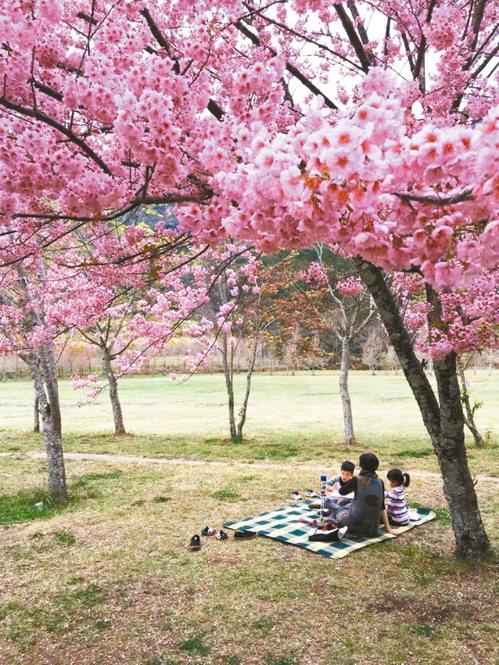 福壽山農場千櫻園櫻花。 圖/Grace Chao提供