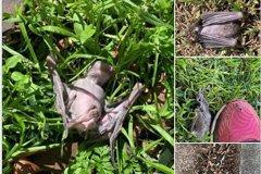以色列成群蝙蝠暴斃從天而降 居民嚇稱「聖經預言成真」