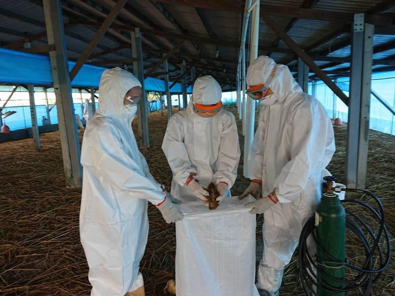 台南市後壁區一鵝場確診為H5N5高病原性禽流感,動保處今天撲殺1313隻中鵝及1790隻小鵝。圖/農業局提供