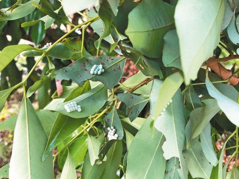 蟲蟲危機 長滿花穗的荔枝樹處處可見荔枝椿象產卵,每個葉片產10至14顆卵。 記者魯永明/攝影