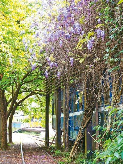鐵路內灣支線合興站有愛情車站美名,站內的紫藤花盛開。 圖/攝影師陳玉峰提供