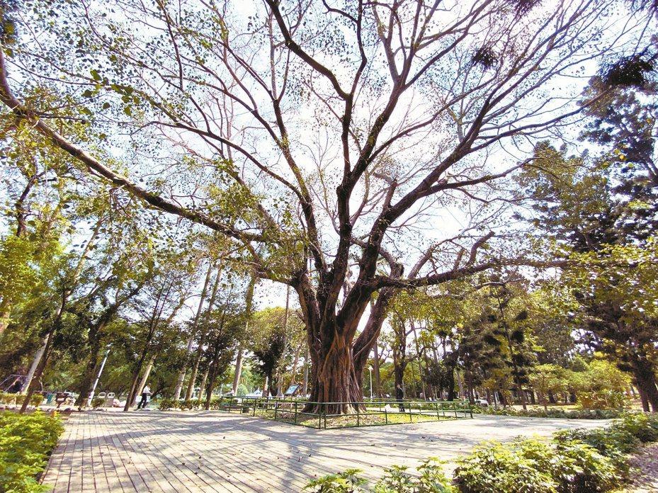 台南公園擁有百年歷史,其中菩提樹已有110年樹齡,被列管為珍貴老樹。 記者鄭維真/攝影