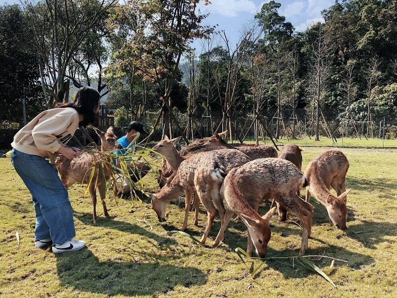 宜蘭人氣景點「斑比山丘」,旅客零距離餵小鹿、與小鹿互動。  綠舞飯店/提供