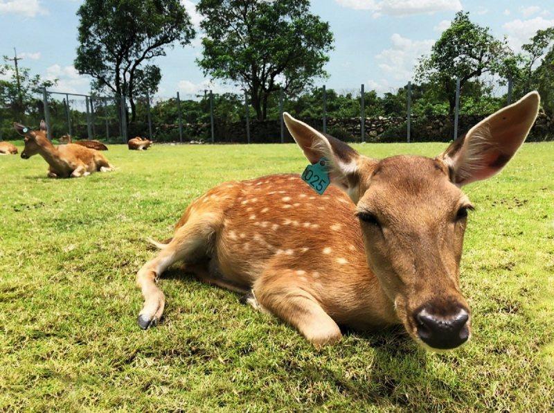 「斑比山丘」園內的小鹿,讓人近距離拍照。 綠舞飯店/提供
