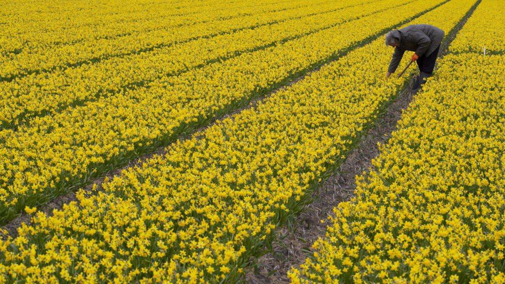 新冠肺炎疫情蔓延,衝擊荷蘭花卉出口。圖為一名男子在荷蘭阿姆斯特丹附近的一個水仙花...