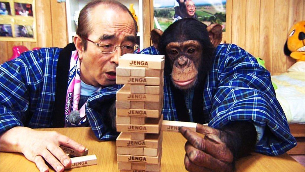 志村和猩猩布丁認真挑戰疊疊樂。《志村動物園》的熱門單元是猩猩阿龐與鬥牛犬詹姆士的...