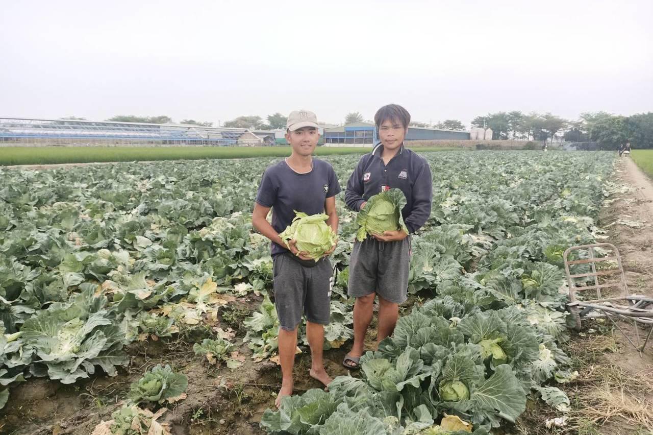 疫情衝擊3萬顆高麗菜被「棄單」 台南下營青農開放自採