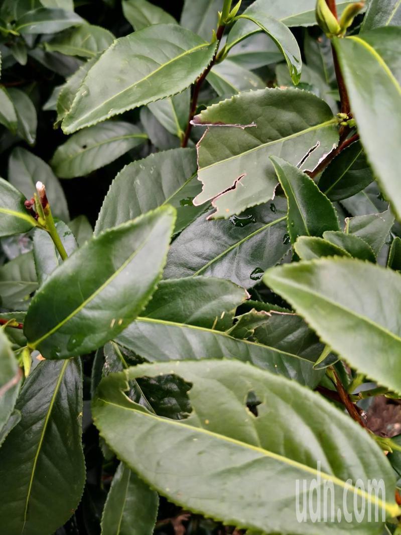 嘉義縣梅山鄉高海拔地區本月27日下了一場冰雹,部分茶農反映山區茶葉受損,葉片破洞、嫩芽被打掉。圖/讀者提供
