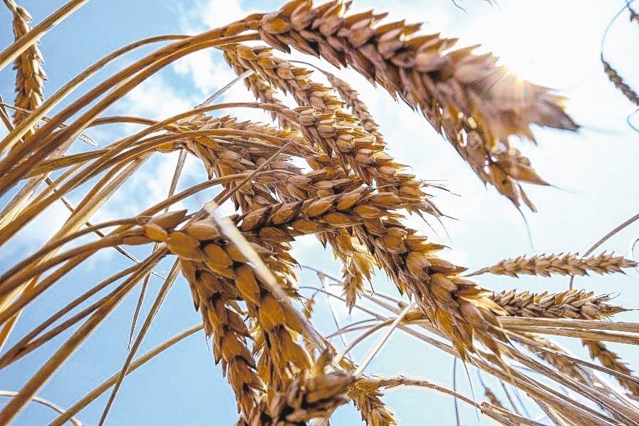 新冠肺炎疫情擴散,帶動小麥、稻米價格大漲。 路透