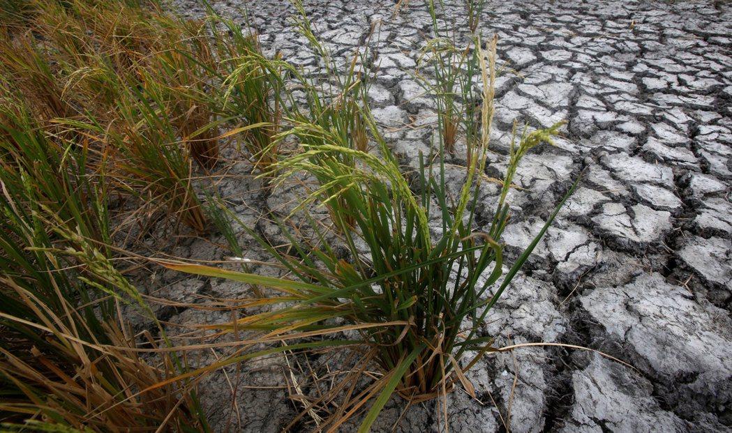 稻米出口大國泰國和越南因乾旱肆虐,導致稻米產量減少。圖/路透