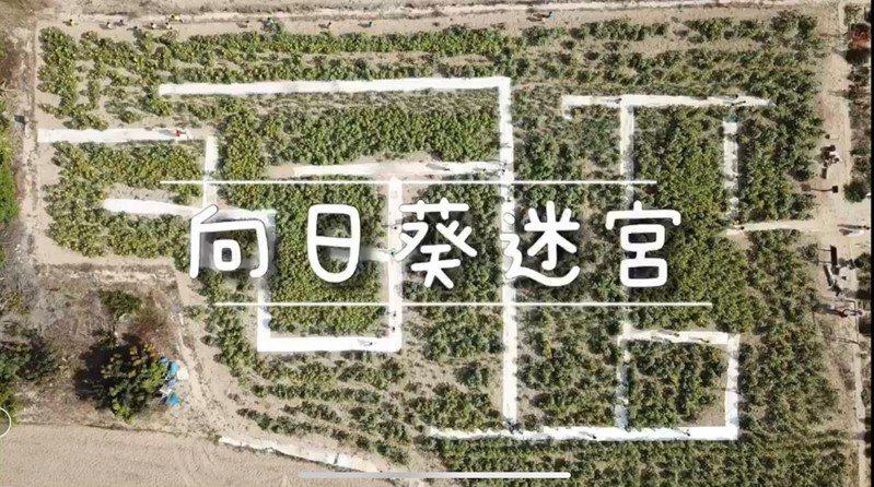 台南新化出現一座向日葵花海迷宮。記者吳淑玲/翻攝