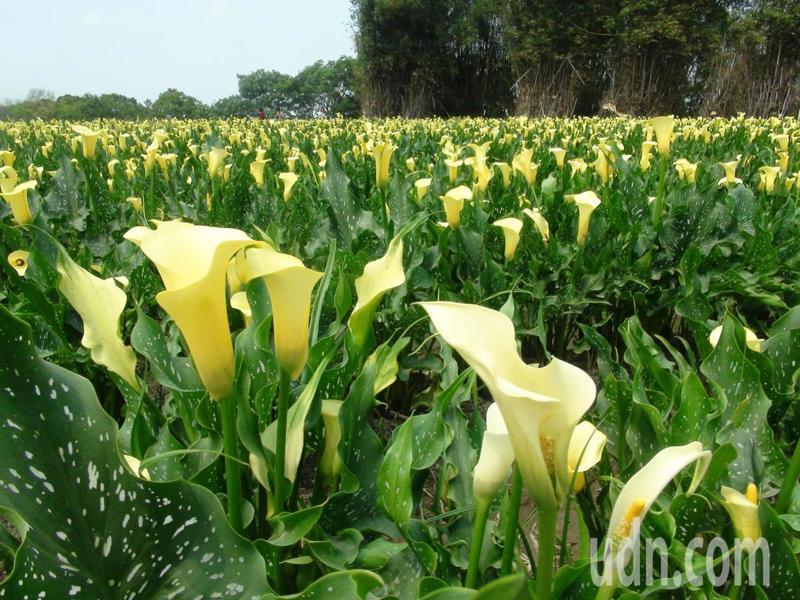 占地600多坪的黃色海芋花田,上萬株黃色海芋對照上一旁的綠野稻田,黃澄澄一片,讓人讚嘆連連。記者余采瀅/攝影