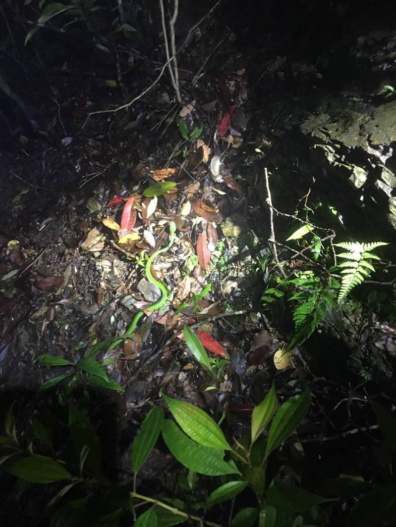 咬傷人的青竹絲,具有環境保護色,所以不易被察覺,也因此是台灣每年最常發生的毒蛇攻擊的蛇類。圖/新北市消防局提供