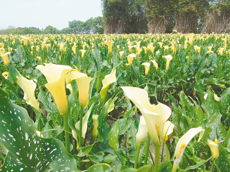 豔麗的黃色海芋在綠野稻田中綻放,美不勝收,連日已吸引大批人潮來拍照打卡。 記者余采瀅/攝影