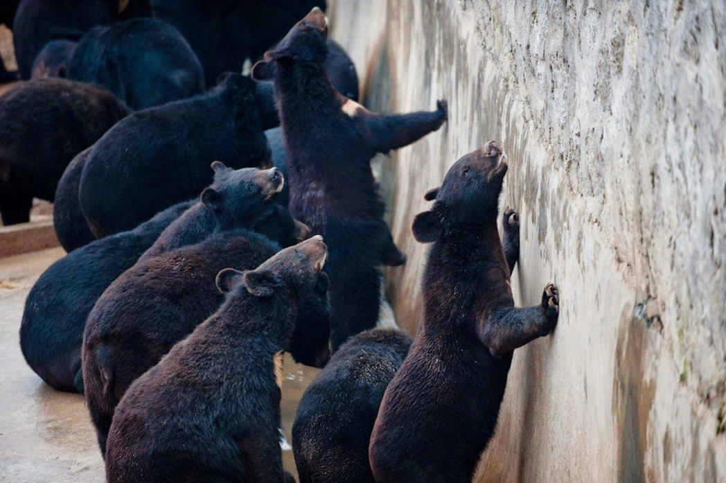 「全面禁止食用野生動物,但卻不禁止野生動物入中藥?」圖為中國熊場。 圖/法新社