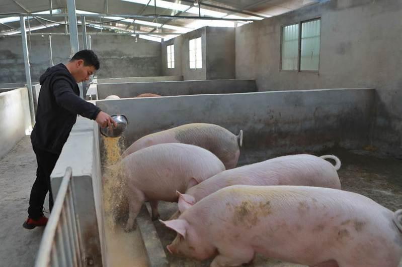 雲南省再度傳出非洲豬瘟疫情,共81隻幼豬發病、死亡。新華社資料照片