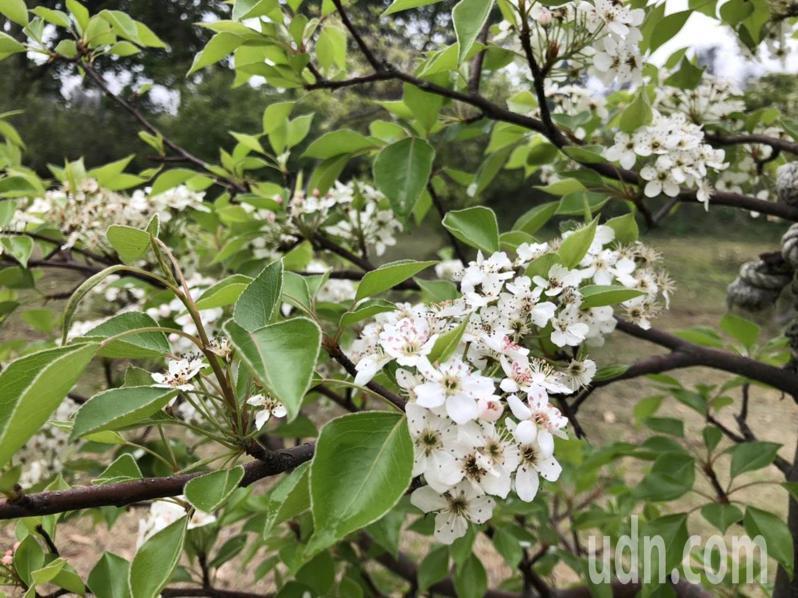 小巧可愛的豆梨花,在金門因花期長與霧季重疊,頗有清新脫俗的美感。記者蔡家蓁/攝影